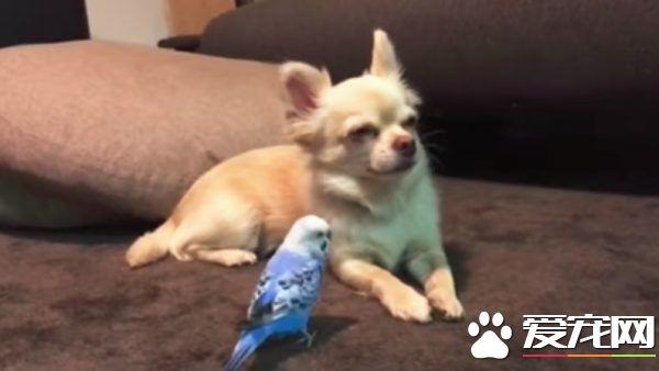 强忍睡意 听鹦鹉兄弟唠叨不停的吉娃娃