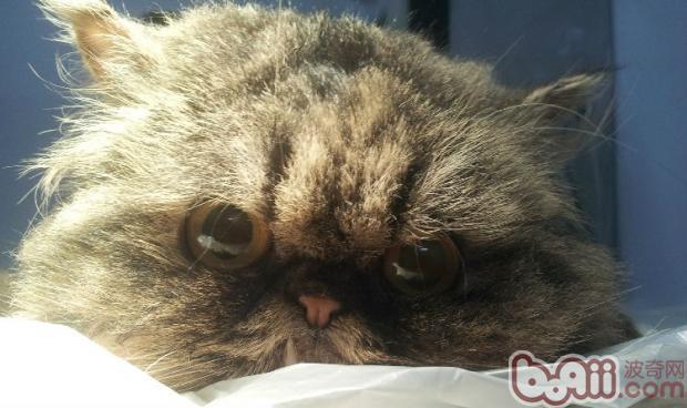 常见宠物猫直肠脱垂的诊治处理-猫咪常见病